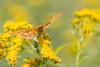 Tabac d'Espagne (Argynnis paphia) (aurelien.ebel) Tags: alsace animal argynnispaphialinnaeus 1758 basrhin france heliconiinae insecte lawantzenau nymphalidae papillondejour rhopalocères tabacdespagne