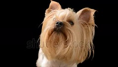 Yorkshire terrier. Alpha channel included. (daria.boteva) Tags: adorable adult alpha alphachannel animal background black breed brown camera canine carnivore channel creature cub cute dog doggy domestic friend fur furry glamour hair haired isolated lap little looking mammal matte months panting pedigree pedigreed pet portrait pup puppy purebred ribbon shot sitting suited terrier whelp york yorkie yorkshire