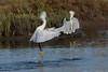 Rubino Snowy Egrets in territorial fight 20170819 Famosa Slough CA 097 (Ryan Rubino) Tags: snowy egret flight launching territorial fighting levitation san diego ca interaction quarrel synchronized egretta thula