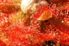 Drosera graomogolensis (MDobsik) Tags: drosera graomogolensis sundew carnivorous plant