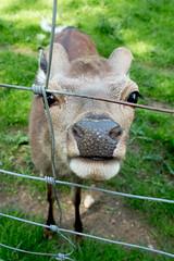 Where is the food (Channed) Tags: duitsland europa europe sauerland warstein wildparkwarstein deer dier fauna hert zoogdier zoogdieren channedimages chantalnederstigt wildpark park animal fence