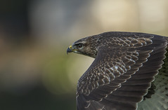 Buzzard - On patrol (Ann and Chris) Tags: avian amazing awesome buzzard eyes flying gliding hunting hunt hawk majestic outdoors predator raptor stunning wildllife wild