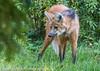 FSP_1576 (Florian Schust | Sportfotograf) Tags: mähnenwolf säugetier tier wilhelmastuttgart natur