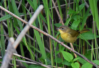 For ID (Done): Common Yellowthroat ♀ - Paruline masquée ♀ - Geothlypis trichas (D72_4562-1F-20170829)
