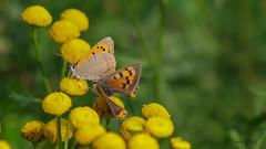 Kleine Feuerfalter (Oerliuschi) Tags: schmetterlinge butterfly feuerfalter rainfarn pflanze natur tagfalter