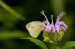 _U7A8364 (rpealit) Tags: scenery wildlife nature white lake preserve cabbage butterfly nectaring wild bergamot monarda
