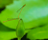 Connection for Happiness (Chandana Witharanage) Tags: srilanka southasia macromondays connection gardenshot pond damselflies yellowwaxtail ceriagrioncoromandelianum bud wzterlilybud handheld specanimal