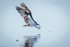 Osprey Going In For The Kill (Vic Zigmont) Tags: osprey birds circlebreserve florida
