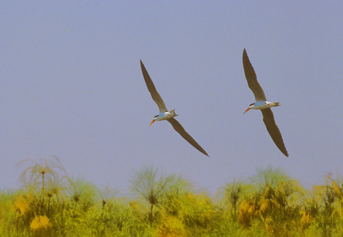 African Skimmers over Okovango River , Botswana
