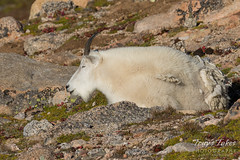 Sleepy Mountain Goat nanny
