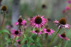 The last days of summer (hehaden) Tags: flowers echinacea pink fading garden sussexprairies sussexprairiegarden henfield sussex