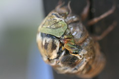 Wing Joint (FilmandFocusPhoto) Tags: canon sigma 50mm macro macrophotography macrophotographer macrophotographers macrounlimited outdoors outdoor nature natural naturallight availablelight photoshopfree noprocessing untouched unedited sunlight bug insect cicada molt