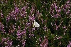 Besenheide (Calluna vulgaris) mit einem Weißling (Pieris sp.) im Loher Gehege; Lohe-Föhrden (13) (Chironius) Tags: schleswigholstein deutschland germany allemagne alemania germania германия niemcy loheföhrden blüte blossom flower fleur flor fiore blüten цветок цветение rosa tier schmetterling butterfly papillon kupukupu farfalla vlinder motyl бабочка mariposa asterids heidekrautartige ericales heidekrautgewächse ericaceae