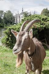 Wemmel, Jaarmarkt 2017 #51 (foto_morgana) Tags: belgique belgium belgië goat jaarmarkt2017 mammalia mammals mammifères nature outdoor säugetiere wemmel zoogdieren animal