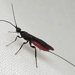 Wasp: Atanycolus sp. thumbnail