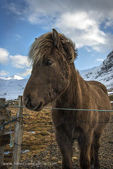 ICELANDIC HORSE....KIRKJUFELL, ICELAND. (IMAGES OF WALES.... (TIMWOOD)) Tags: landscape tim wood gallery iceland island west south fishing boats boat sea fjord church kirkja foss icelandic traditional kirkjufell pony horse road stykkisholmur hofn