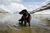 Dog in Swiss lake (noregt) Tags: yellow dog switzerland lae snow