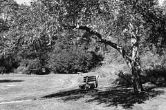 Under the apple tree (halifaxlight) Tags: canada novascotia chester park appletree bench apples fallen trees shadows seat bw