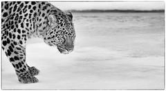 Amur leopard (josefontheroad) Tags: elitegalleryaoi bestcapturesaoi aoi