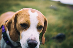 Po on the Ben Nevis ranges (Odd Jim) Tags: dogs dog dof beagle hound pets pet cute canon6d 50mm stm scotland