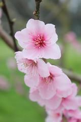Flor de durazno (kokesheep) Tags: flor flores durazno primavera florecer flower flowers peach spring