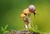 Miniature World (Vie Lipowski) Tags: snail detritivore mushroom shroom toadstool garden backyard wildlife nature macro