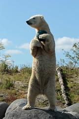Lale (K.Verhulst) Tags: polarbears polarbear ijsbeer ijsberen wildlandsadventurezoo wildlands emmen lale bear beren beer coth5