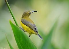 Olive-backed Sunbird (flickr quickr) Tags: nectariniajugularis olivebackedsunbird sunbird