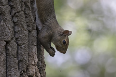 Just hanging around (tsandra996) Tags: squirrel wild nature wildlife tree hanging crazy funny cute