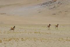 IMG_0349 (y.awanohara) Tags: tibet wildlife scenery ngari may2017 donkeys khyang tibetanwilddonkeys