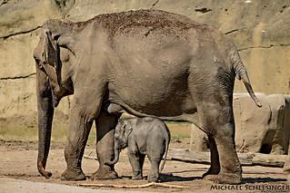 Asiatischer Elefant (Elephas maximus)