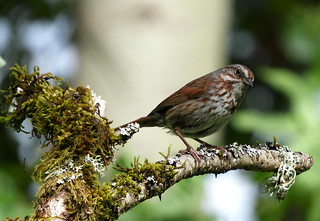Song Sparrow (Rusty Form) 6-8-17 Vancouver Lake State Park