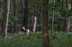 Watchful mum (Wouter de Bruijn) Tags: fujifilm xt1 fujinonxf90mmf2rlmwr deer roe roedeer family mum child calf fauna animal nature forest landscape mantelingen westhove oostkapelle walcheren zeeland nederland netherlands holland dutch outdoor