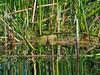Rana en la Laguna de San Martín de Valdetuéjar, León (francisco.j.gonzalez) Tags: rana frog grenouille charca laguna lake fauna ibérica anfibio