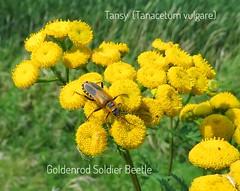 Tansy (Lisa Cancade) Tags: lisacancadehackett goldenrodsoldierbeetle tansy