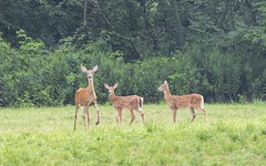 White tail doe and fawns (a56jewell) Tags: a56jeell aylmer fawn doeaug summer
