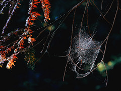 S p i d e r W e b (ce_lia95) Tags: sonydsch1 sonycybershot camera capture picture photo photographie shot nature light colors campaign spider spiderweb forest branches red white black