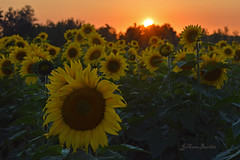 Sunflower Sunset (cowgirljo78) Tags: sunset skies flowers fields happy sunshine evening yellow bright faces