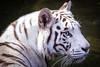 White Tiger, Singapore Zoo (_paVan_) Tags: singapore singaporezoo zoo nature tiger whitetiger wild bigcats