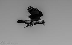 cuervo volando (1 de 1) (barragan1941) Tags: aguilalagunera cuervos fauna pajaros toledo