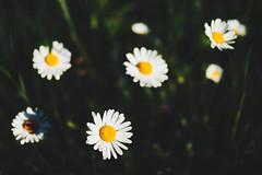 Spring star system (Petr Horak) Tags: blooming bloom blossom closeup dof flower foliage nature olympus penf spring weed staráhuť středočeskýkraj czechia cze