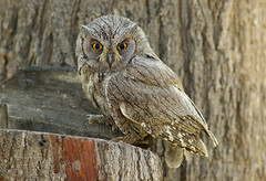 Pallid scops-owl (Zahoor-Salmi) Tags: zahoorsalmi salmi wildlife pakistan wwf nature natural canon birds watch animals bbc flickr google discovery chanals tv lens camera 7d mark 2 beutty photo macro action walpapers bhalwal punjab