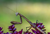 Praying Mantis - The Formal Portrait (bettyinparis) Tags: prayingmantis praying mantis insect summer bug