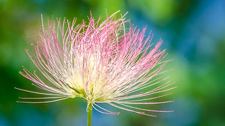 Fleur d'Albizia.... merci Josette