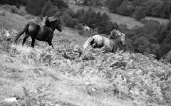 Flying (Peaf79) Tags: dartmoor nikond3000 pony horses movement flying blackandwhite combestone holne devon dartmoorponies dartmoorpony