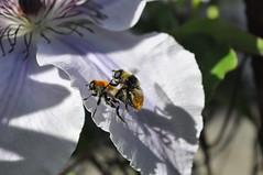 DSC_0202_Narcissus bulb flies on clematis(?) OR_Sara Morris (fyberduck) Tags: clematis diptera multnomahcounty nonnative oregon pollinatorgarden portland