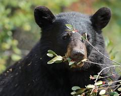 Black bear (fred.colbourne) Tags: blackbear bear wildlife banffnationalpark alberta berries eating