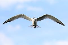 Gulf Pier Sandwich Tern Inflight (dbadair) Tags: bif bird flight gulf nature wildlife tern pier ft desota 7dm2 canon sun sunset dusk evening twilight