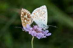 Bläulinge (Marcus Hellwig) Tags: bläuling schmetterling mariposa butterfly lycaenidae falter zwei blüte pärchen streit blau braun