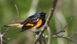 IMG_0131  American Redstart_warbler